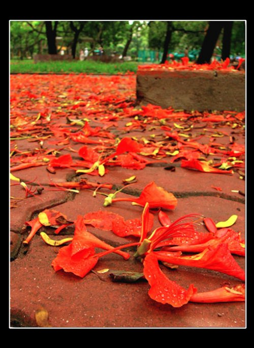 Flamboyant - When summer is waving through red petals